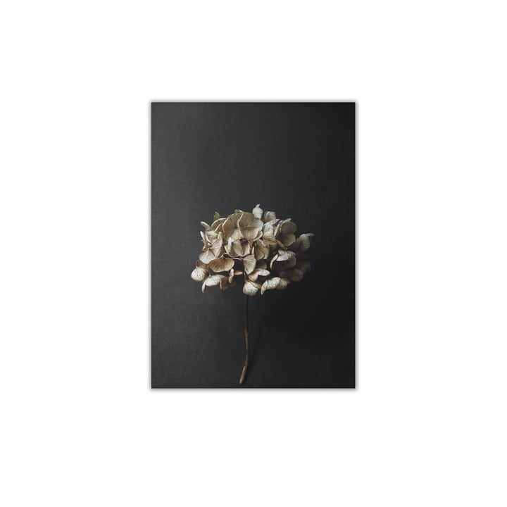 Nature morte 04 (Hortensia) 30 x 40 cm de Paper Collective
